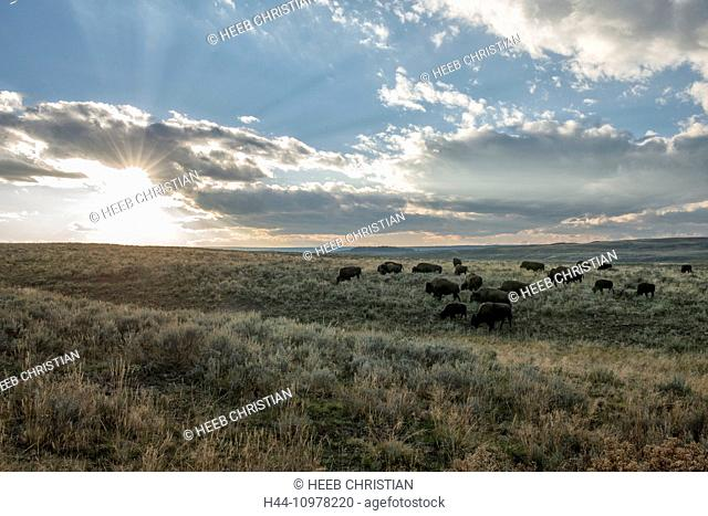 USA, United States, America, Wyoming, Rockies, Rocky Mountains, Yellowstone, National Park, UNESCO, World Heritage, Hayden valley, bison, animal, herd, sunset