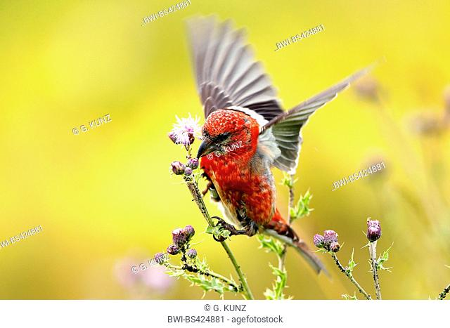 white-winged crossbill (Loxia leucoptera), landing on thistle, Germany