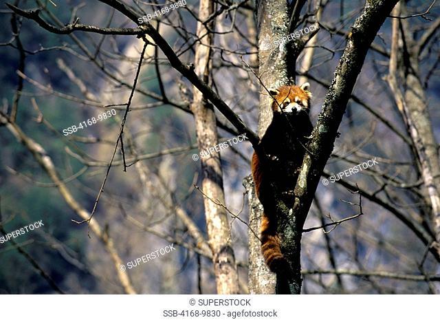 China, Sichuan Province, Wolong Panda Reserve, Red Panda Ailurus Fulgens In Tree