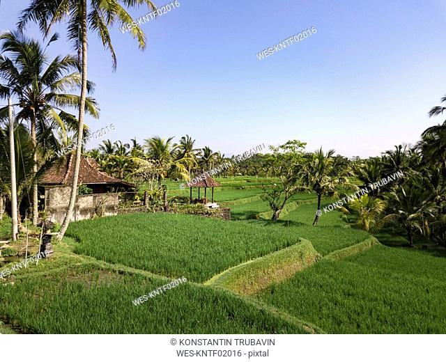 Indonesia, Bali, Ubud, Aerial view of rice fields