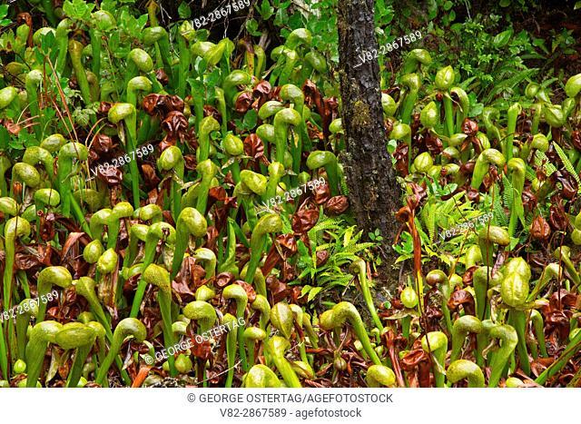 Pitcher plant (Darlingtonia californica), Darlingtonia State Botanical Wayside, Oregon