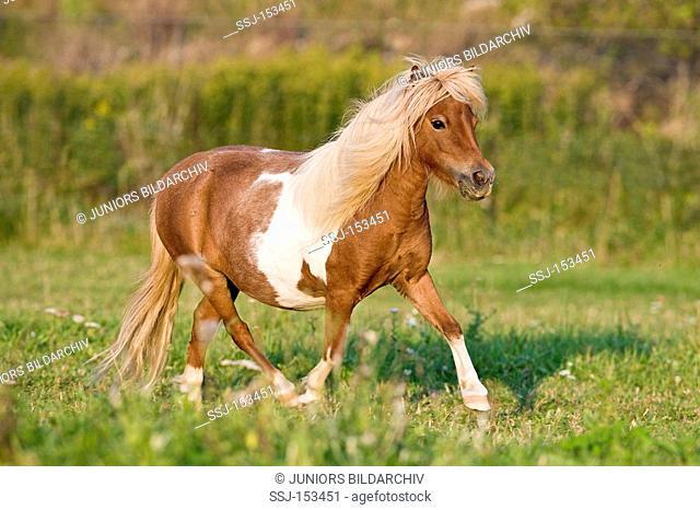 American Miniature horse - walking on meadow