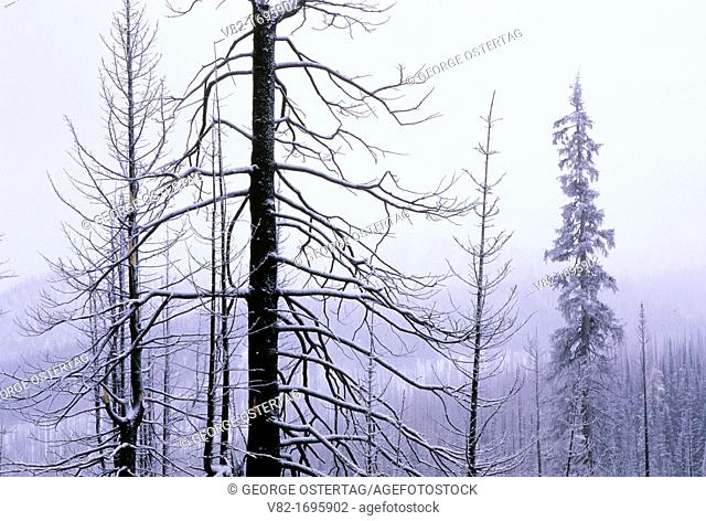 Snowy forest at Harts Pass, Okanogan National Forest, Washington