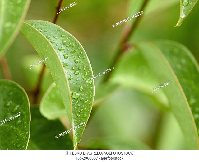 Drops of rain water on the green leaves of a tree (Ligustrum lucidum). Galicia, Spain