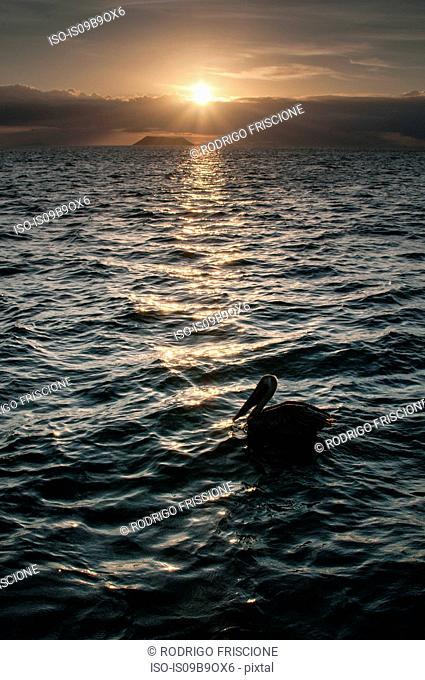 Bird resting on sea at sunset, Seymour, Galapagos, Ecuador, South America