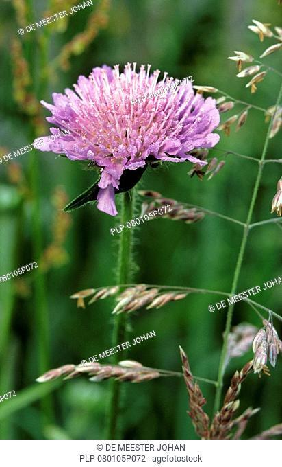 Field scabious flower Knautia arvensis, Belgium