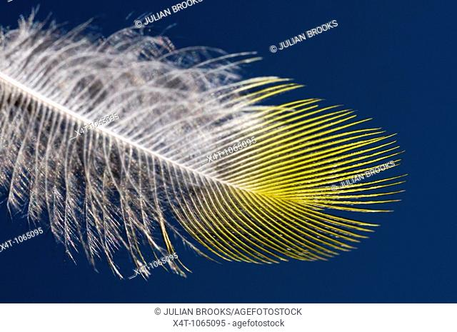 A single feather of The European Greenfinch, Carduelis chloris against a clear blue sky, close up