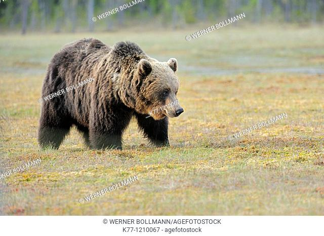 European Brown Bear (Ursus arctos), Finland