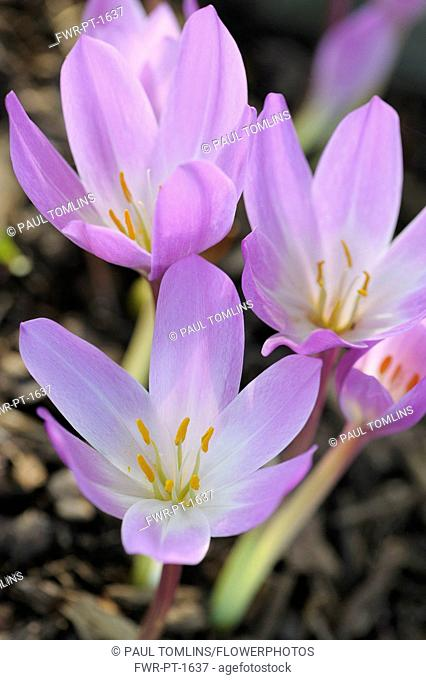 Crocus, Autumn Crocus, Ccolchicum autumnale, Close up of mauve coloured flowers growing oudoor.-