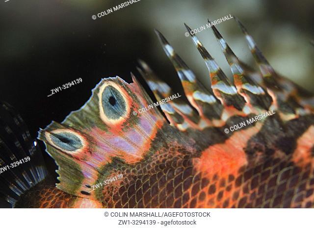 Detail of fin on Twinspot Lionfish (Dendrochirus biocellatus), Dropoff dive site, Seraya, near Tulamben, Bali, Indonesia