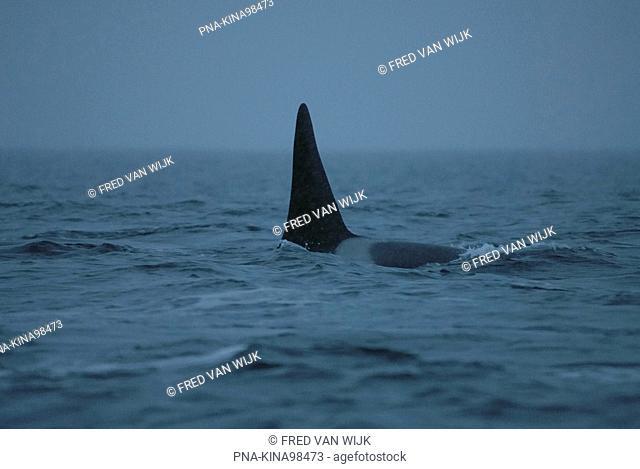 Killer Whale Orcinus orca - Tysfjord, Lofoten Islands, Nordland, Norway, Scandinavia, Europe