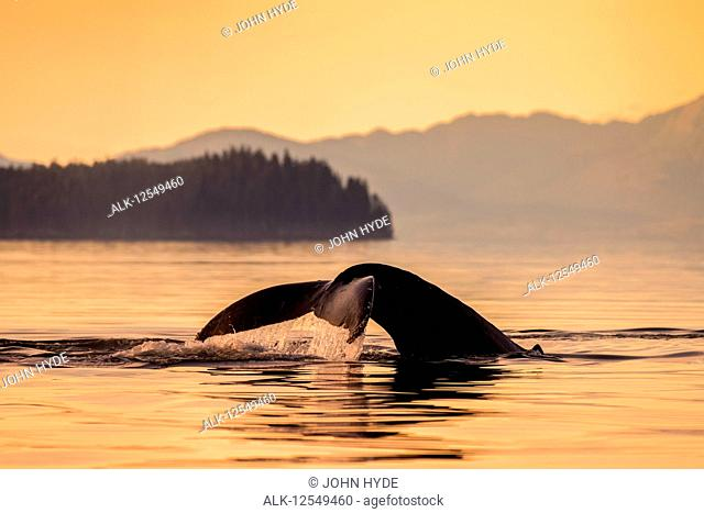 Humpback whale (Megaptera novaeangliae) in Lynn Canal with Coast Range in the background, Southeast Alaska; Alaska, United States of America