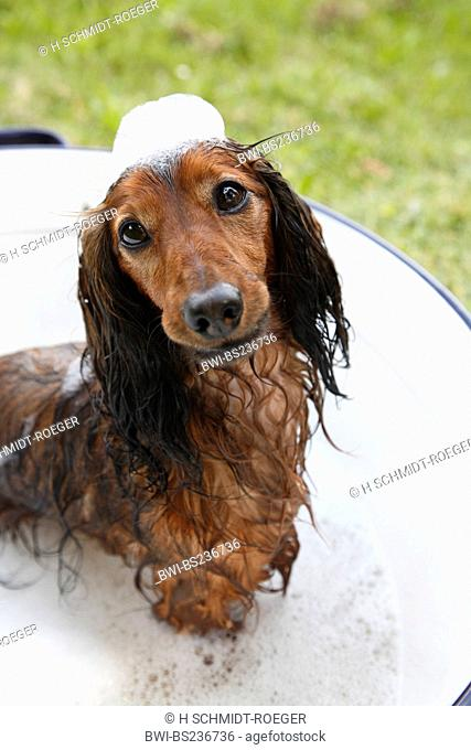 Long-haired Dachshund, Long-haired sausage dog, domestic dog Canis lupus f. familiaris, standing in the water of a washbowl with a 'crown' of foam on the head
