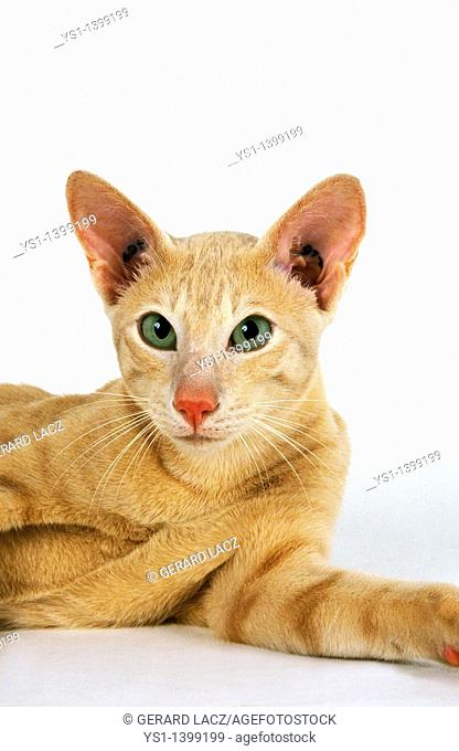 Cream Oriental Domestic Cat, Adult against White Background