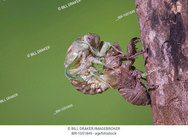 Cicada (Tibicen resh), adult emerging from nymph skin, Sinton, Corpus Christi, Texas, USA