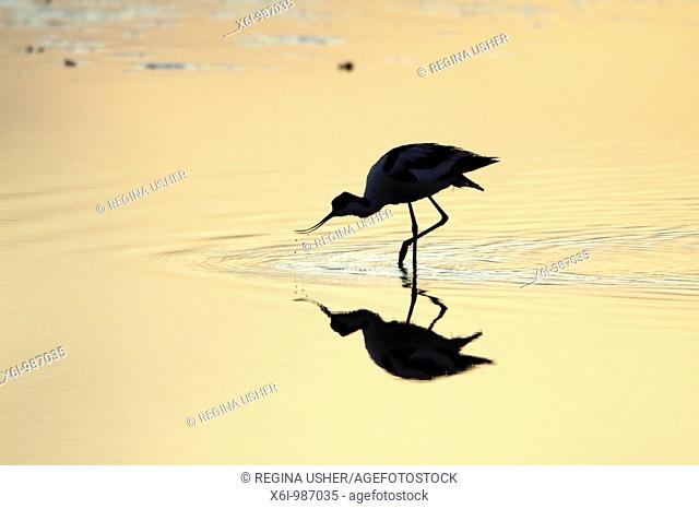 Avocet Recurvirostra avosetta, feeding at sunset, Texel, Holland