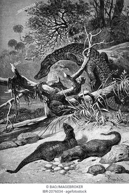 Ichneumons stealing crocodile eggs, wood engraving, 1880