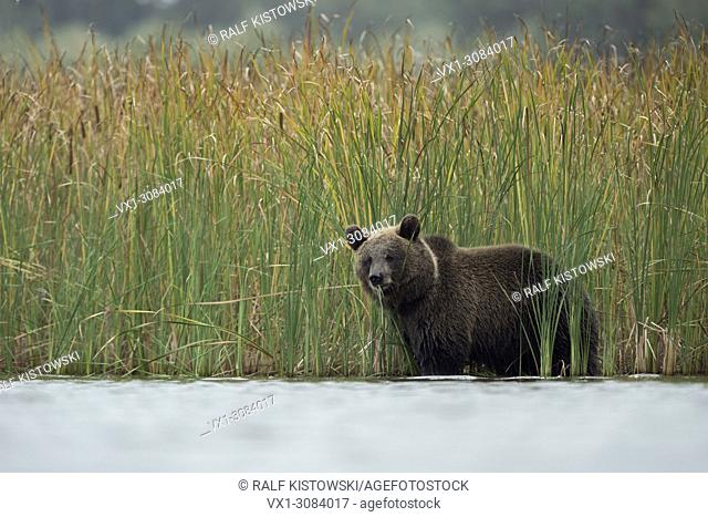 Brown Bear ( Ursus arctos ), young cub, adolescent, standing in shallow water between autumnal coloured reed, feeding on grass, looks cute, Europe