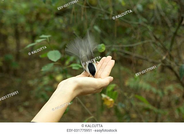 Chickadee Eats with Palms, Bird perched on a Woman's Hand and Eating bird seed on a Blurred Green Forest Background. Close-up, Long Exposure