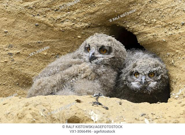 Eurasian Eagle Owls (Bubo bubo), young chicks, in front of their nesting site in a sand pit, funny wildlife, Germany, Europe