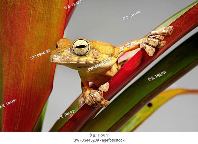 spinybottom tree frog, Tramlap flying tree frog (Rhacophorus exechopygus), sitting on a leaf, Vietnam