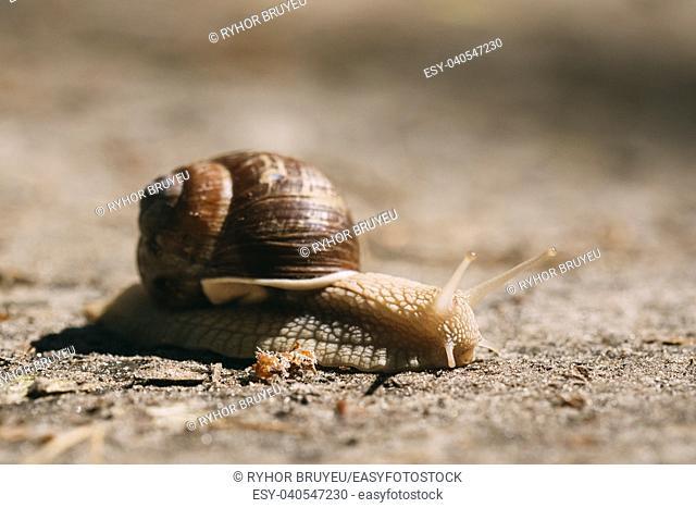 Garden Snail Gliding On Ground In Sunny Summer Day. Short Depth Of Focus