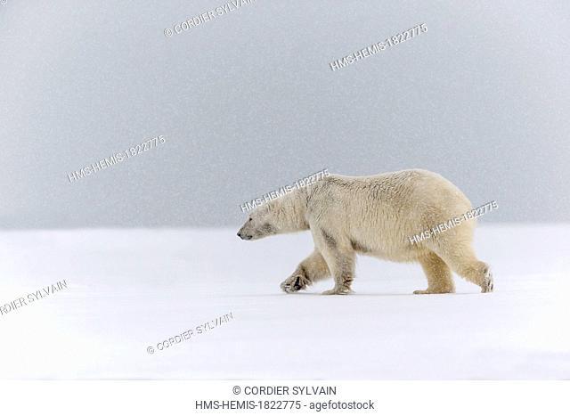 United States, Alaska, Arctic National Wildlife Refuge, Kaktovik, Polar Bear (Ursus maritimus), along a barrier island outside Kaktovik