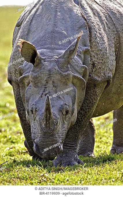 Indian Rhinoceros or Great One-horned Rhinoceros or Asian One-horned Rhinoceros (Rhinoceros unicornis), Kaziranga National Park, Assam, India