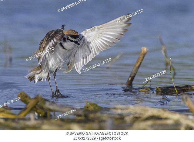 Kentish Plover (Charadrius alexandrinus), adult male taking off from the wàter. Italy