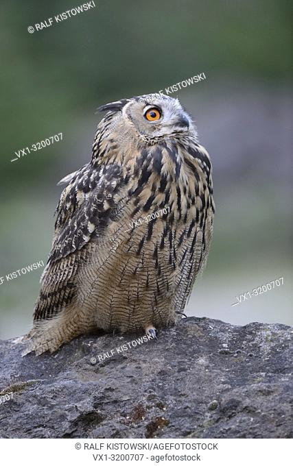 Northern Eagle Owl ( Bubo bubo ) perched on a rock, close-up, watching up to the sky, side view, wildlife in a quarry