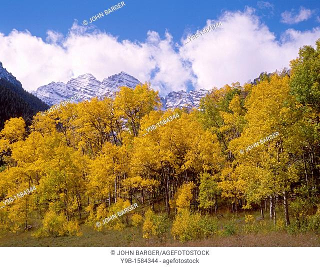 Autumn snowfall on the Maroon Bells above yellowing grove of quaking aspen, White River National Forest, Colorado, USA