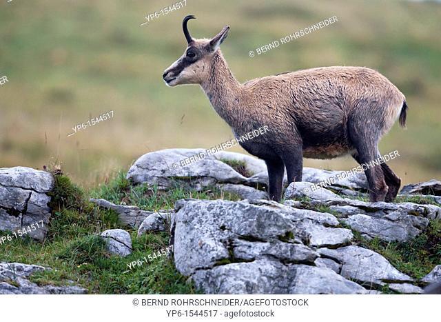 Chamois Rupicapra rupicapra standing on rock, Niederhorn, Switzerland
