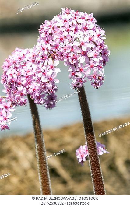 Darmera peltata, indian rhubarb or umbrella plant