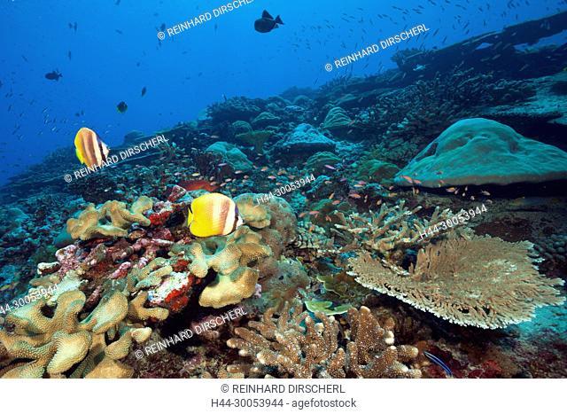 Kleins Butterflyfish over Coral Reef, Chaetodon kleinii, Christmas Island, Australia