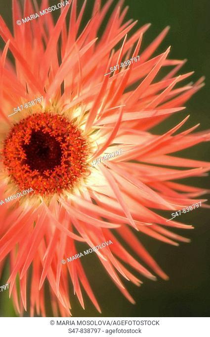 Coral Pink Transvaal Daisy. Gerbera jamesonii