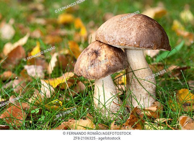 Couple of mushrooms at Guarda, Portugal