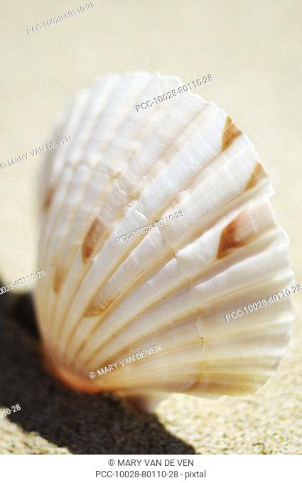 Select focus of pink and white scallop shell standing upright in sand