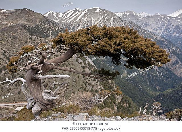 Italian Cypress (Cupressus sempervirens forma horizontalis) native ancient tree, habit, growing in mountain habitat, White Mountains, Crete, Greece, April