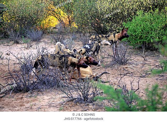 African Wild Dog, (Lycaon pictus), pack feeding on kill, Tswalu Game Reserve, Kalahari, Northern Cape, South Africa, Africa