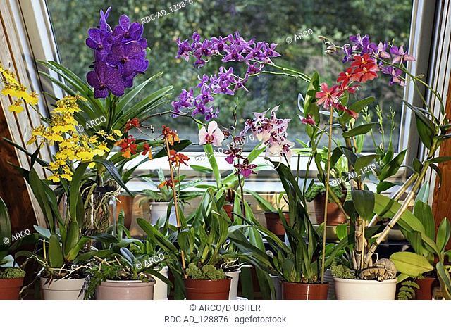 Hybrid Orchids on windowsill