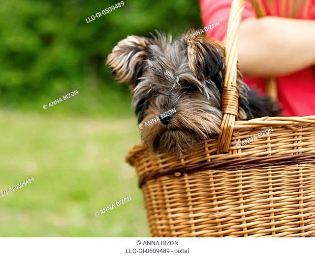 Yorkshire terrier in basket Debica, Poland