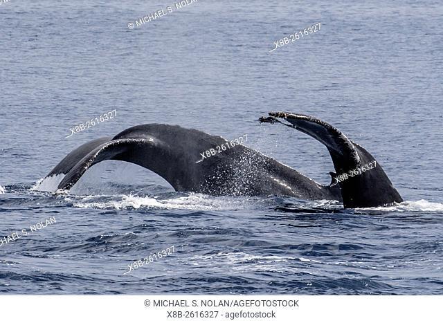 Adult male humpback whales, Megaptera novaeangliae, compete for a female in esterus, San Jose del Cabo, Baja California Sur, Mexico