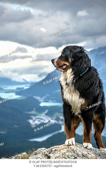 Male Bernese Mountain Dog in front of the Engadine Valley, Muottas Muragl. Switzerland
