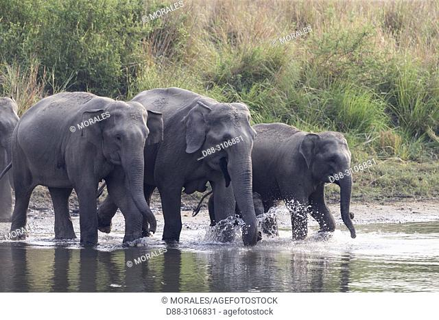 Asia, India, Uttarakhand, Jim Corbett National Park, Asian or Asiatic elephant (Elephas maximus), group drinking