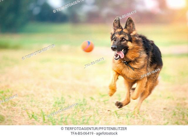 playing German Shepherd