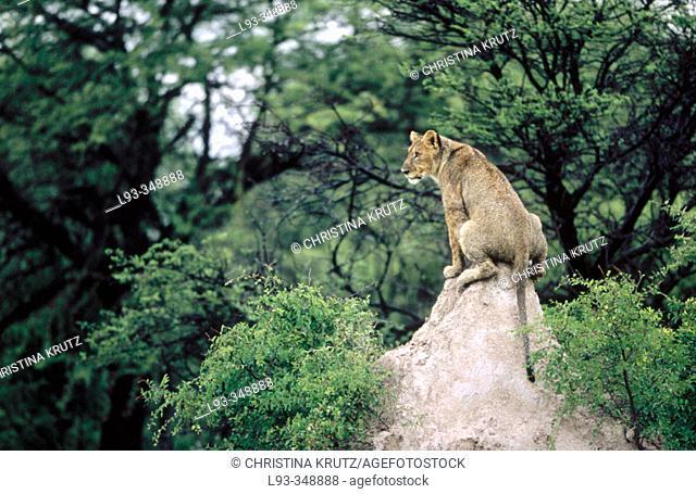 Young lion (Panthera leo) sitting on termite's nest. Etosha National Park, Namibia