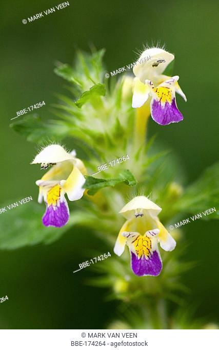 Large-flowered Hemp-nettle is a species of disturbed, nutrient rich soils In Hackfort, it grows in rye fields