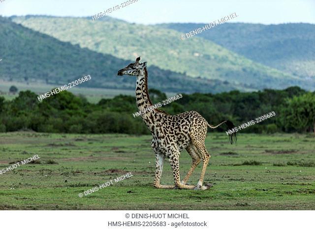 Kenya, Masai-Mara game reserve, Girafe masai (Giraffa camelopardalis), rising