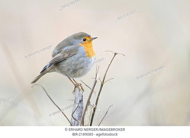 Robin (Erithacus rubecula), Haren, Emsland, Lower Saxony, Germany, Europe