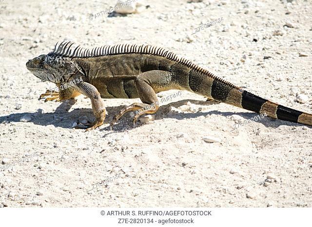 Blue iguana, Grand Cayman, Cayman Islands, Caribbean